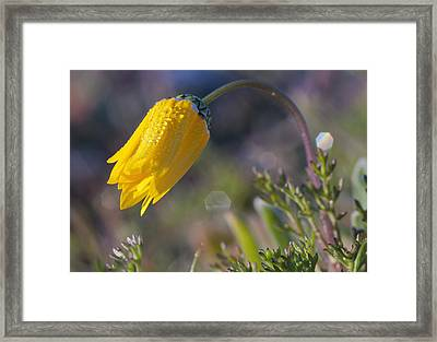 Namaqualand Daisy, Papkuilsfontein, Northern Cape, South Africa Framed Print by Peter Chadwick