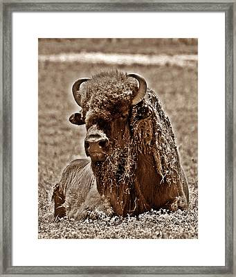 Napping Bison Framed Print by Monica Wheelus