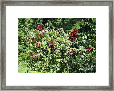 Natchez Trace Wild Sumac Framed Print by Theresa Willingham