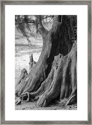 Natural Cypress Framed Print by Carolyn Marshall