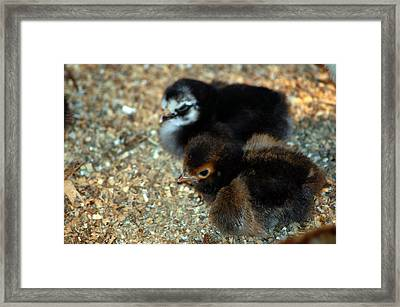 New Chickies Framed Print by LeeAnn McLaneGoetz McLaneGoetzStudioLLCcom