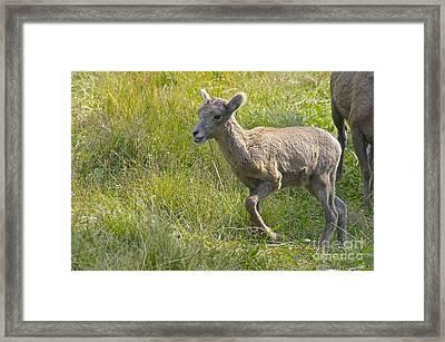 Newborn Bighorn Framed Print by Sean Griffin