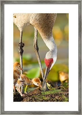 Newborn Sandhill Cranes Framed Print by Scott Helfrich