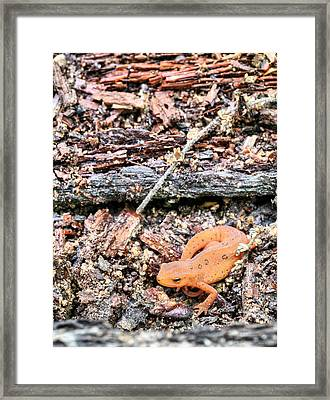 Newting To See Here Framed Print by JC Findley