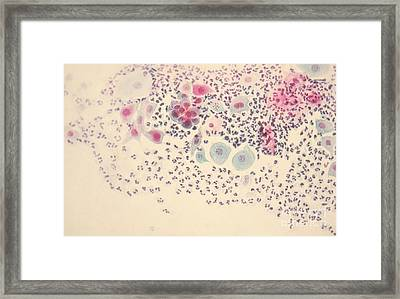 Normal Stellate Cells Framed Print by Science Source
