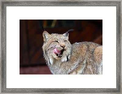 North American Lynx Framed Print by Paul Fell