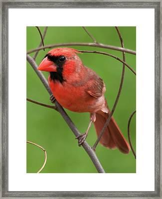 Northern Cardinal Framed Print by Dan McManus