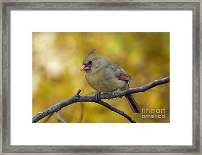Northern Cardinal Female - D007849-1 Framed Print by Daniel Dempster