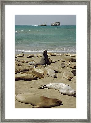 Northern Elephant Seals Framed Print by Diccon Alexander
