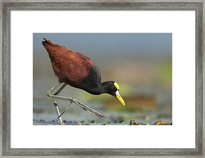 Northern Jacana Foraging Costa Rica Framed Print by Tim Fitzharris