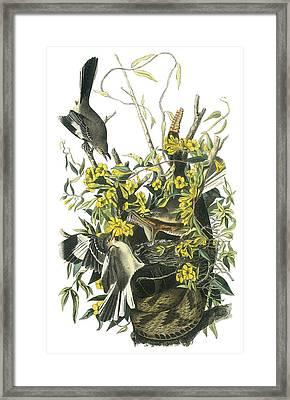Northern Mockingbird Framed Print by John James Audubon