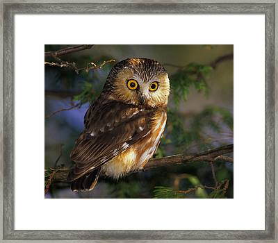 Northern Saw-whet Owl Framed Print by Tony Beck