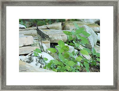 Northern Waterthrush By The Stream Framed Print by Roena King