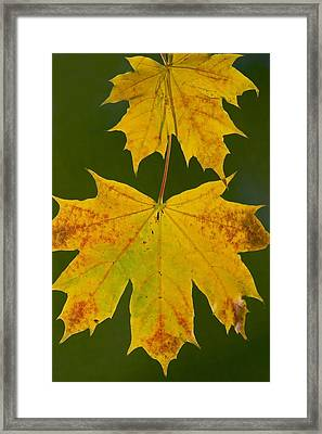 Norway Maple (acer Platanoides) Framed Print by Bob Gibbons
