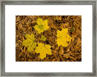 Norway Maple Leaves Framed Print by Bob Gibbons
