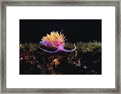 Nudibranch Brightly Colored Arctic Ocean Framed Print by Flip Nicklin
