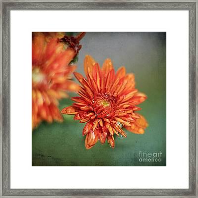 October Mums Framed Print by Darren Fisher