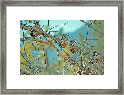 October Pine Framed Print by Bonnie Bruno