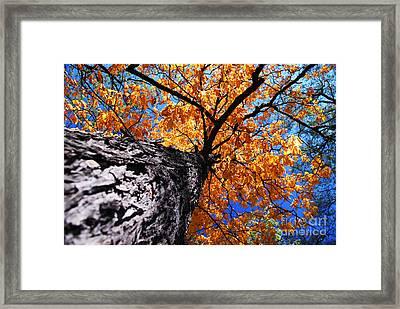 Old Elm Tree In The Fall Framed Print by Elena Elisseeva