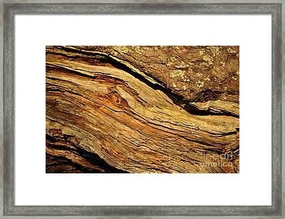 Old Pine Framed Print by Conny Sjostrom