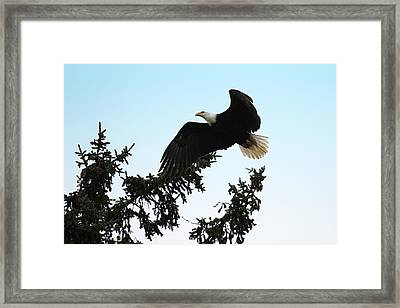 Olympic Bald Eagle Framed Print by David Yunker