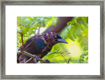 Ominous Molting Grackle Framed Print by Bill Tiepelman
