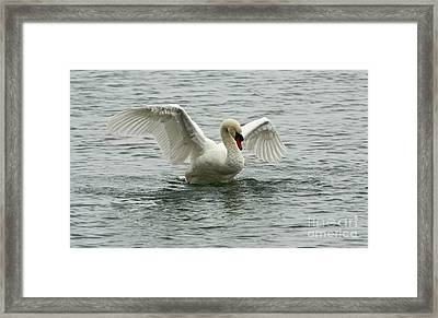 On The Wings Of A Swan Framed Print by Inspired Nature Photography Fine Art Photography