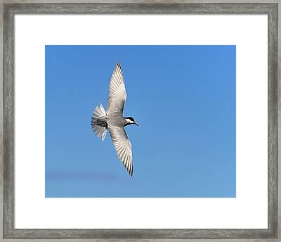 One Good Tern Deserves Another Framed Print by Tony Beck
