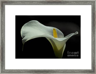 Open White Calla Lily Iv Framed Print by Heiko Koehrer-Wagner