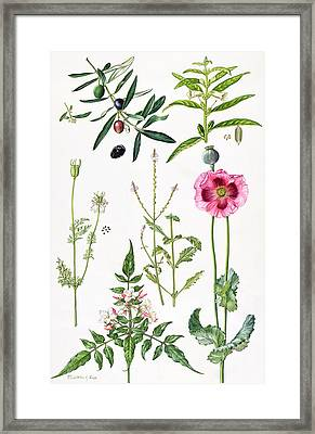 Opium Poppy And Other Plants  Framed Print by  Elizabeth Rice