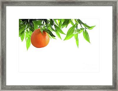 Orange Branch Framed Print by Carlos Caetano