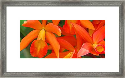 Orange Cattleya Orchid Framed Print by Becky Lodes