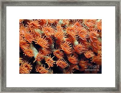 Orange Coral Polyps Framed Print by Sami Sarkis
