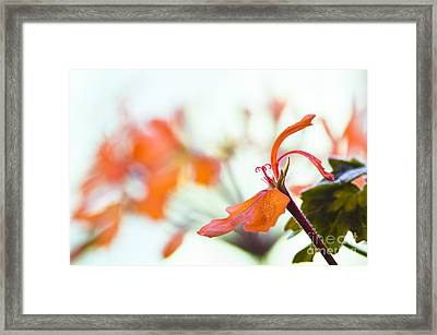 Orange Cranesbill Framed Print by David Lade