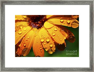 Orange Daisy And Raindrops Framed Print by Thomas R Fletcher