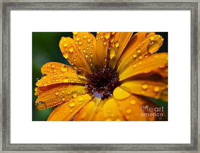 Orange Daisy In The Rain Framed Print by Thomas R Fletcher