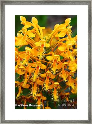 Orange Fringed Orchis Framed Print by Barbara Bowen