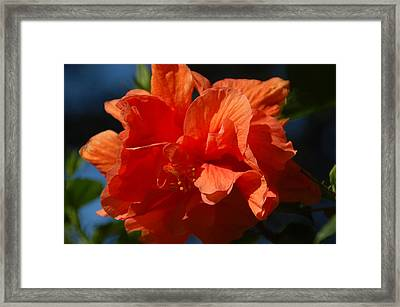 Orange Hibiscus Framed Print by Aimee L Maher Photography and Art Visit ALMGallerydotcom
