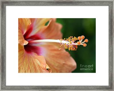 Orange Hibiscus Framed Print by Sabrina L Ryan