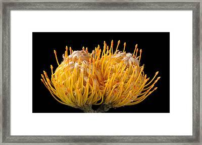 Orange Pincushion Flower On Black Background Framed Print by Kevin Dutton