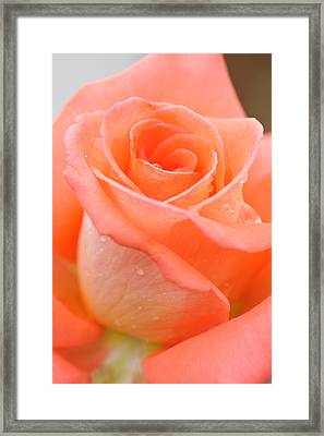 Orange Rose Framed Print by Atiketta Sangasaeng