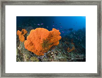 Orange Sponge With Crinoid Attached Framed Print by Steve Jones