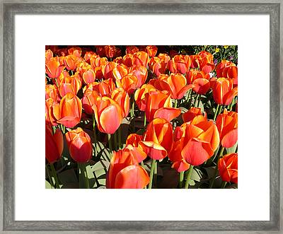 Orange Tulips Framed Print by Claude McCoy