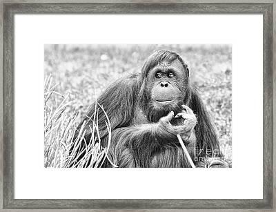Orangutan Framed Print by Scott Hansen
