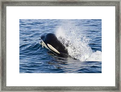 Orca Breathing As It Surfaces Southeast Framed Print by Flip Nicklin