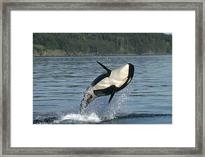 Orca Orcinus Orca Breaching Framed Print by Gerry Ellis