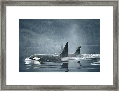 Orca Orcinus Orca Group Surfacing Framed Print by Flip Nicklin