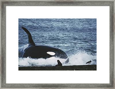 Orca Orcinus Orca Hunting South Framed Print by Hiroya Minakuchi