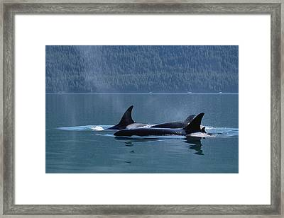 Orca Orcinus Orca Pod Surfacing, Inside Framed Print by Konrad Wothe