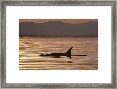 Orca Orcinus Orca Surfacing, North Framed Print by Gerry Ellis